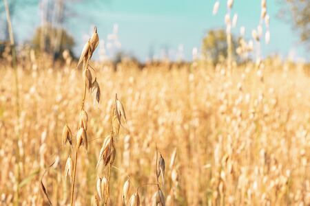 Harvest oats. The background of yellow oats. Countryside