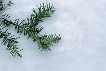 Spruce branch in the snow. Background christmas tree on white snow
