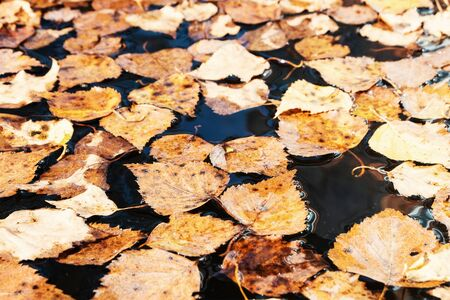 Yellow autumn leaves in a pool of water. Background of yellow leaves in a puddle
