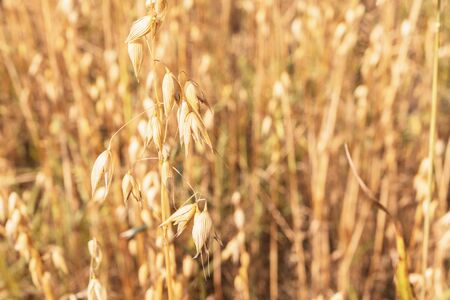 Oat field close up. Background of yellow ears of oats. Selective focus