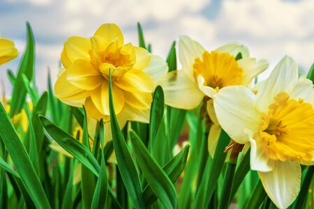 Spring flowers daffodils. Flower background on sky background.