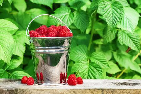 Bucket of ripe raspberries on the background of green tree leaves outdoors. 免版税图像