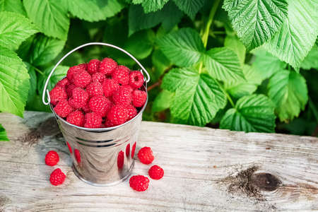 Red raspberry berries in a bucket of green leaves outdoors.