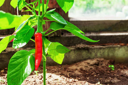 Red chili pepper on a stalk with green leaves outdoors Zdjęcie Seryjne