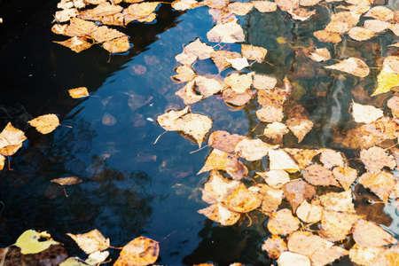 Yellow leaves in a rain puddle. Autumn season. Zdjęcie Seryjne