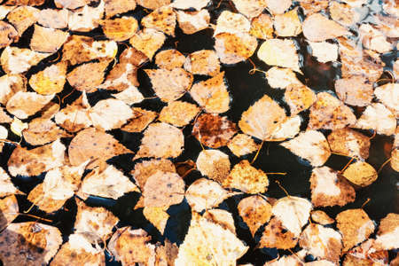 Yellow autumn leaves in a rain puddle