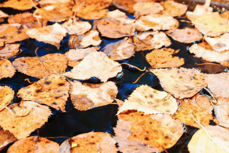 Autumn yellow leaves fell into the water