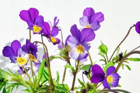Bundle of purple pansy flowers on white. Zdjęcie Seryjne