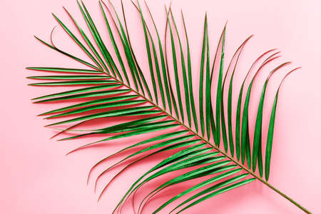 Green palm tree leaf on pink background. 免版税图像