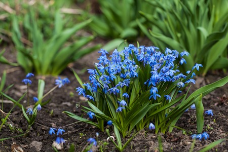 Blue Scilla siberica or siberian squill flowers. First spring flowers
