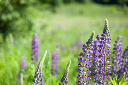 Wild lupines growing near the forest 写真素材