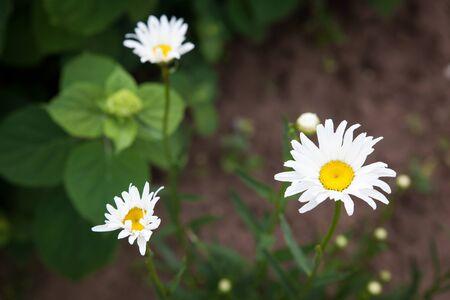 Weißes Gänseblümchen, Kamille in einem Garten, Sommerblumenbeet