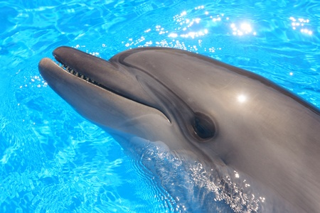 Dolphin Head - Bottlenose Dolphin in Blue Water  photo