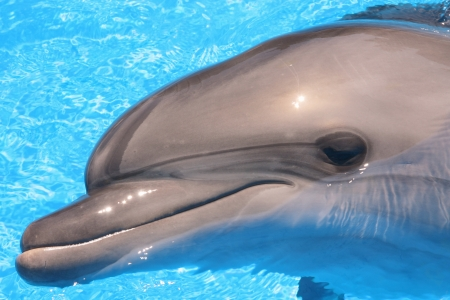 Picture of Dolphin Head - Bottlenosed Dolphin Smiles in Blue Water  photo