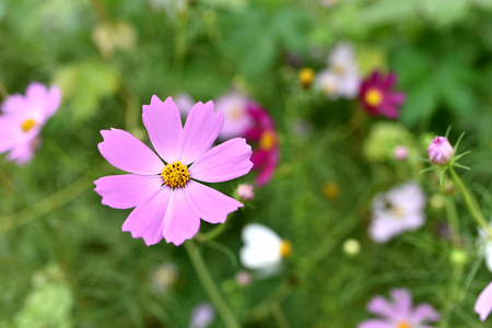 cosmos flowers close up