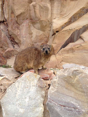 otganimalpets01: Cute dassie sitting on the rocks