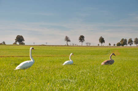 waddling: Mute Swan family waddling in a meadow in Lower Austria, looking for food.