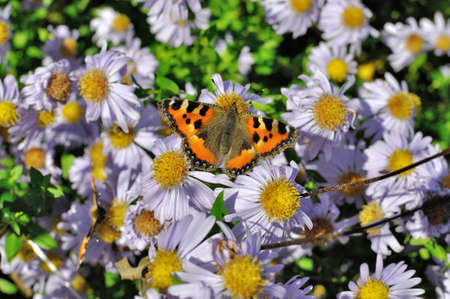 lepidopteran: Small Tortoiseshell (Aglais urticae L.) butterfly found in Europe and temperate Asia, sitting on chamomile bloom.