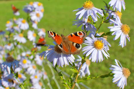 lepidopteran: European Peacock (Aglais io) butterfly found in Europe and temperate Asia, sitting on chamomile bloom. Stock Photo