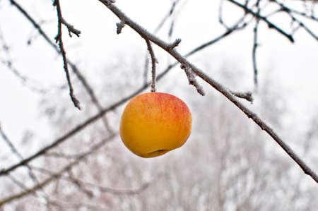 eis: Gelber Apfel auf durch Frost vereistem Baum