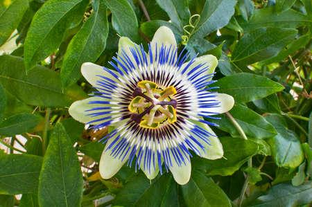 nahaufnahme: Bl?te der Blauen Passionsblume, Passiflora. Stock Photo