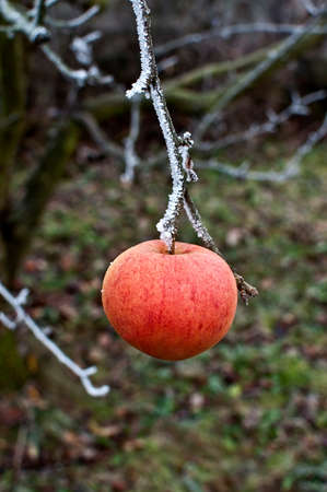 eis: Apfel auf Ast mit Raureif