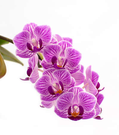 lila: Orchideenbl�te, Phalaenopsis, lila, violett