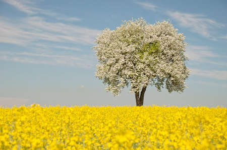 rapaseed: Single blooming tree standing in a rapeseed field in spring. Stock Photo