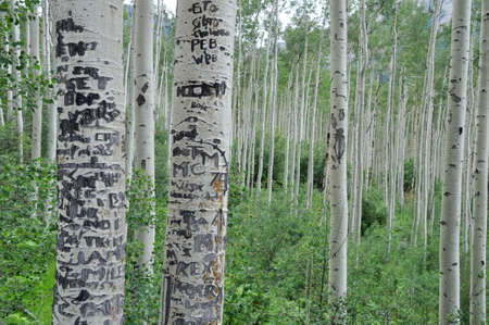 colorado rocky mountains: Birchwood in the Rocky Mountains near Aspen, Colorado. Bark with carvings in the front Stock Photo