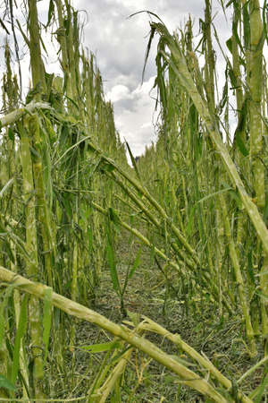 act of god: cornfield with severe damage by hail