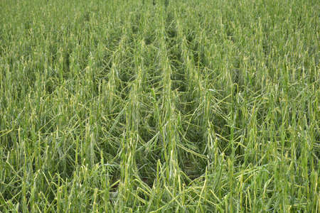 cornfield with severe damage by hail