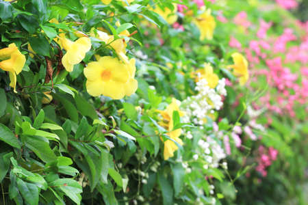 Yellow Allamanda Flower photo
