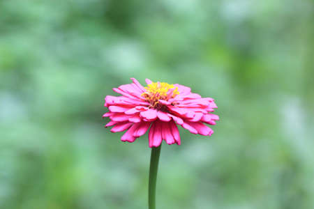 Close up image of pink daisy  photo