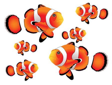 clown fish: Clownfish with white background