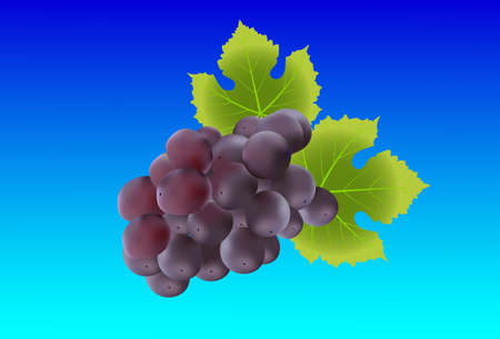 gradient meshes: Bunch of grape. Created with gradient meshes. Illustration