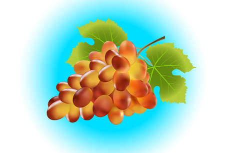 bunch: Bunch of grape. Created with gradient meshes. Illustration