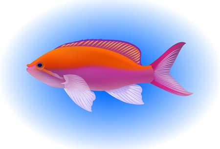 anthias: Bartletts anthias - Pseudanthias bartlettorum - tropical marine fish
