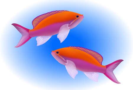Bartletts anthias - Pseudanthias bartlettorum - tropical marine fish
