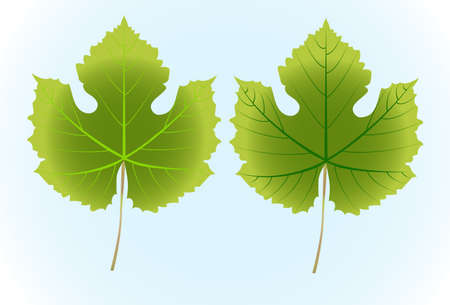 grape leaf: Grape leaf isolated on white background ,Vector illustration