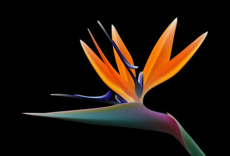 bird of paradise: bird of paradise flower, vector