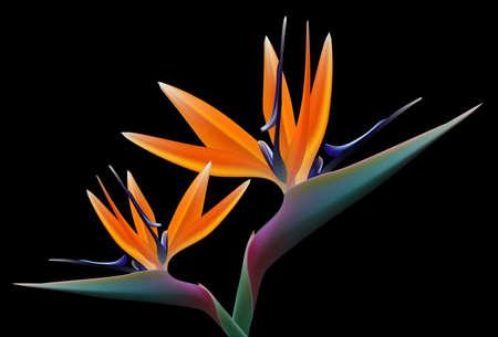 oiseau de paradis fleur, vecteur Vecteurs