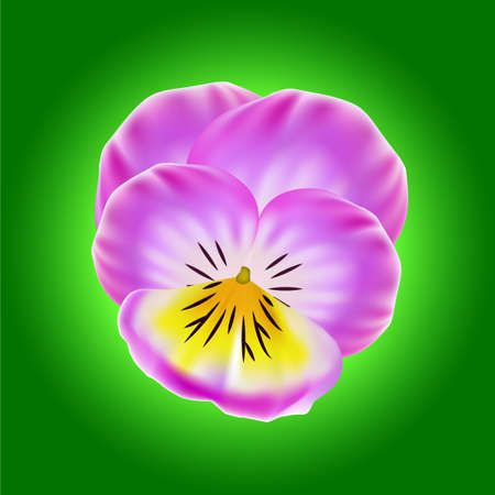 bud: vector Lavender Pansy and Bud isolated on a green background. Illustration