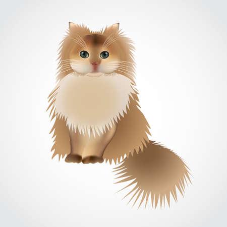 chat persan, en face de fond blanc