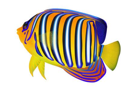 Royal angelfish (Pygoplites diacanthus) isolated on white background. Illustration