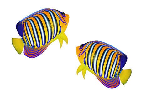 pygoplites diacanthus: Royal angelfish (Pygoplites diacanthus) isolated on white background. Illustration