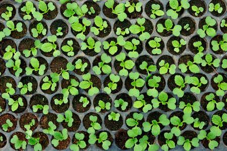 Closeup of small  saplings in pots.