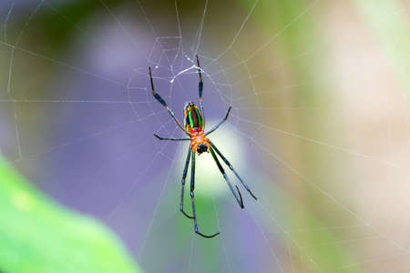 colour Spider waiting for prey in the forest,Thailand