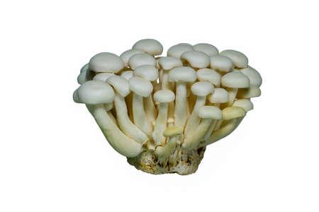 shimeji mushrooms white varieties isolated on white background
