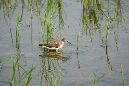 wandering: Common sandpiper wandering in shallow water Stock Photo