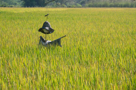 Rice Field and scarecrow in Chiangmai, Thailand
